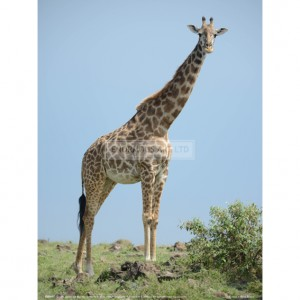 BMF007 Giraffe against the Blue Sky Full Bleed