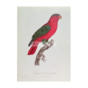 BAR002 Parrot, Lory or Collared