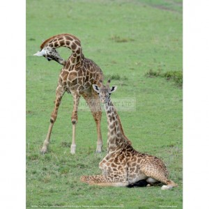 BMF001 Two Giraffe Calves Full Bleed