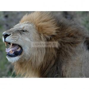 BMF004  Lion Roar Full Bleed