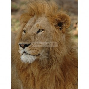 BMF005  Majestic Lion Full Bleed