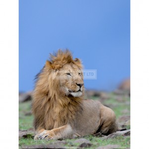 BMF008  Lion at Rest Full Bleed