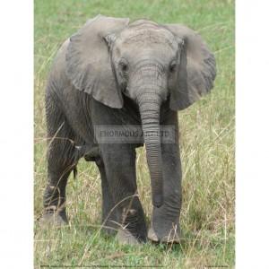 BMF009  Elephant Calf Approach Full Bleed