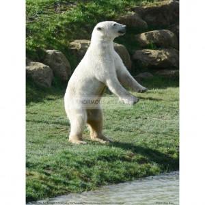 BMF011  Polar Bear Standing Up Full Bleed