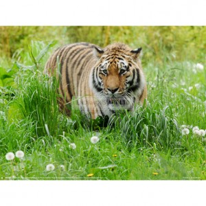 BMF012  Tiger amongst Dandelion Clocks Full Bleed