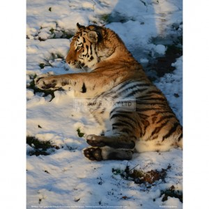 BMF013  Tiger Lying in the Snow Full Bleed