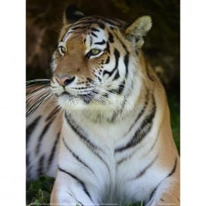 BMF018  Tiger Portrait Full Bleed