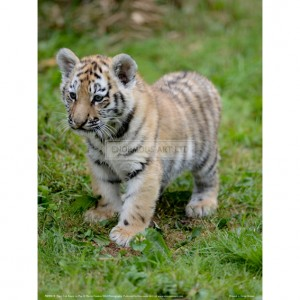 BMF019  Tiger Cub Ready to Play Full Bleed