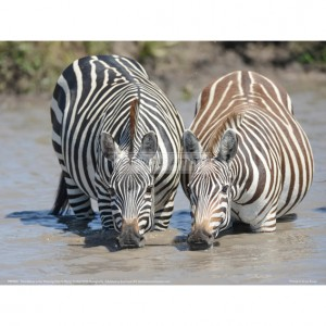 BMF021  Two Zebras at the Watering Hole Full Bleed