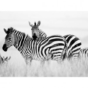 BMF023  Zebras in the Tall Grass (b&w) Full Bleed