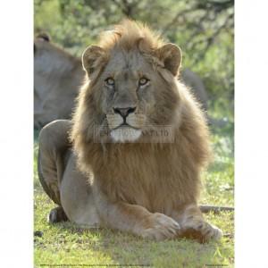 BMF025  Lion Gaze Full Bleed