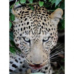 BMF026  Leopard after the Kill Full Bleed