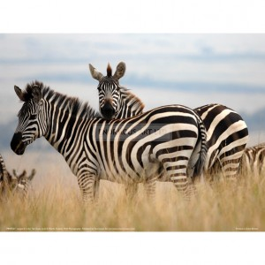 BMF027  Zebras in the Tall Grass (col) Full Bleed