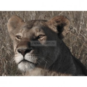 BMF028  Head of a Lioness Landscape Full Bleed