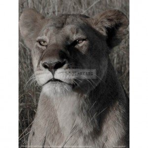 BMF029  Head of a Lioness Portrait Full Bleed