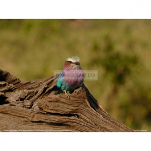 BMF032  Lilac Breasted Roller Full Bleed