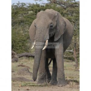 BMF033  Portrait of an Elephant Full Bleed