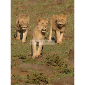 BMF036  Lionesses on the Hunt Full Bleed