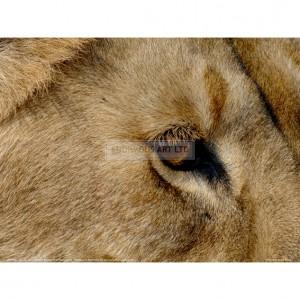 BMF037  Eye of a Lion Full Bleed