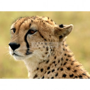BMF038  Portrait of a Cheetah Full Bleed