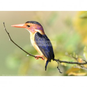 BMF041  Malachite Kingfisher Full Bleed