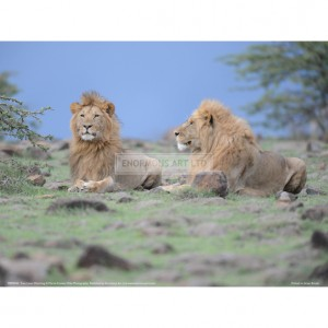 BMF043  Two Lions Watching Full Bleed