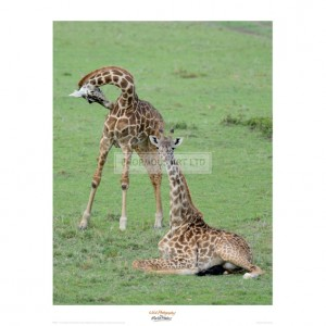 MF001 Two Giraffe Calves