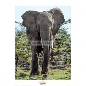 MF003 African Elephant Approach
