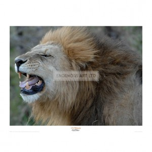 MF004  Lion Roar