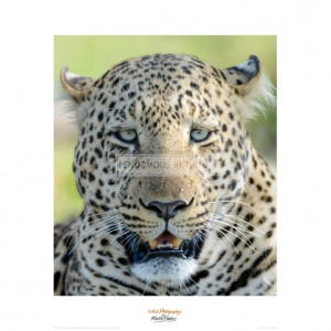 MF006  Head of a Leopard
