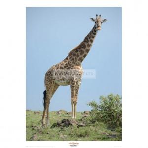 MF007  Giraffe against the Blue Sky