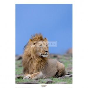 MF008  Lion at Rest