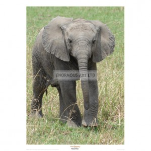 MF009 Elephant Calf Approach