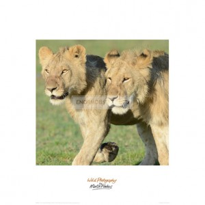 MF010  Two Lionesses