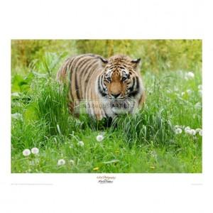 MF012 Tiger amongst Dandelion Clocks