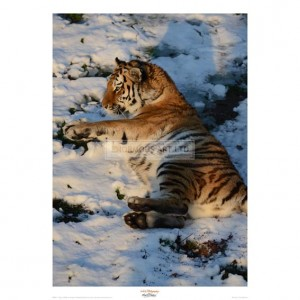 MF013  Tiger Lying in the Snow