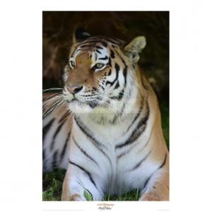MF018 Tiger Portrait