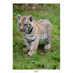 MF019 Tiger Cub Ready to Play