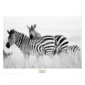 MF023 Zebras in the Tall Grass (b&w)