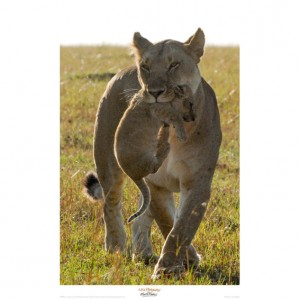 MF024  Lioness Carrying her Cub