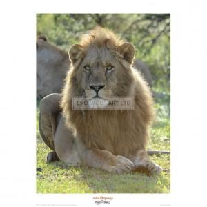 MF025 Lion Gaze