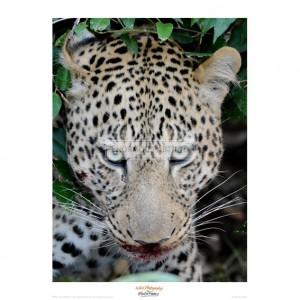 MF026 Leopard after the Kill