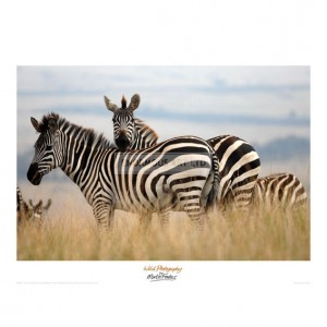 MF027 Zebras in the Tall Grass (col)