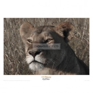 MF028  Head of a Lioness Landscape