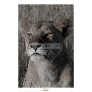MF029  Head of a Lioness Portrait