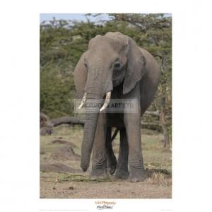 MF033 Portrait of an Elephant