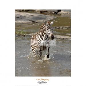 MF035 Zebra Crossing the River