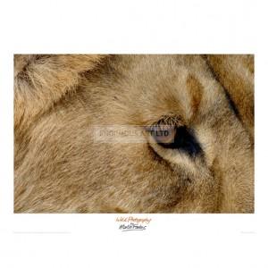 MF037 Eye of a Lion