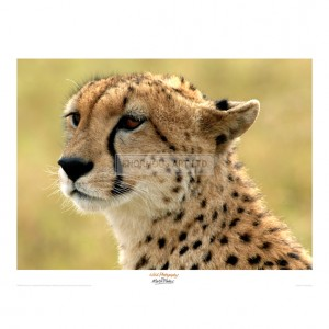 MF038 Portrait of a Cheetah