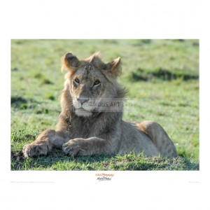 MF039 Young Lion